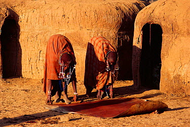 Maasai traditional ceremony, Kedong Valley, Rift valley, Kenya Women roll up cow hide from ritual ox slaughter 1985  -  Jabruson/ npl