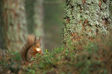 Red squirrel foraging on forest floor (Sciurus vulgaris) Strathspey, Highlands, Scotland  -  Pete Cairns/ npl