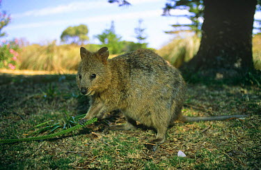 Quokka feeding on vegetation (Setonix brachyurus) Rottnest Island, Australia  -  Pete Oxford/ npl