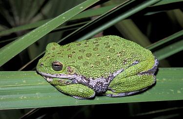 Barking treefrog, turns green on grass (Hyla gratiosa) Florida, USA  -  Barry Mansell/ npl