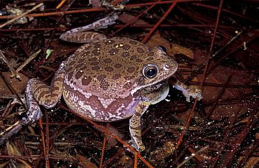Barking tree frog, turns brown in pond (Hyla gratiosa) Florida, USA  -  Barry Mansell/ npl