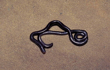 Brahminy blind snake (Ramphotyphlops braminus) Florida, USA introduced from  -  Barry Mansell/ npl