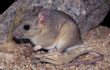 White throated wood rat (Neotoma albigula) Arizona, USA  -  Barry Mansell/ npl