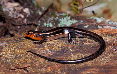 Southern coal skink (Eumeces anthracinus pluvialis) Florida, USA  -  Barry Mansell/ npl