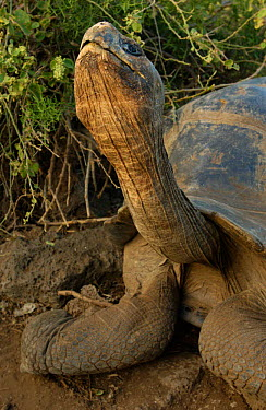 Galapagos Giant tortoise (Geochelone elephantopus) Santa Cruz, Galapagos Is  -  Pete Oxford/ npl