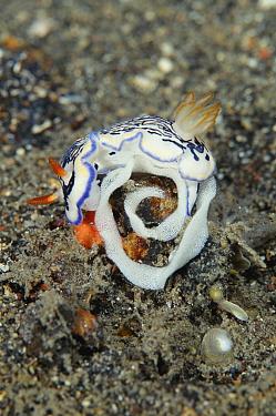 Nudibranch laying egg ribbon (Hypselodoris maritima) Sulawesi Indonesia  -  Constantinos Petrinos/ npl