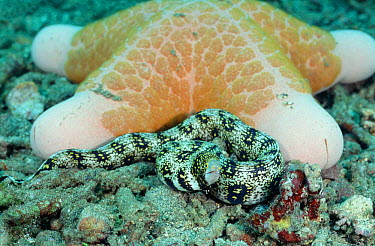 Seastar (Choriaster granulatus) with Snowflake moray eel hiding infront (Echidna nebulosa) Sulawesi Indonesia Indo Pacific  -  Constantinos Petrinos/ npl