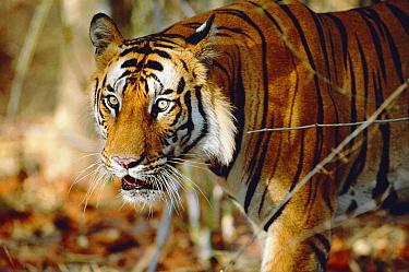 Male Bengal tiger walking (Panthera tigris tigris) Bandhavgarh NP, Madhya Pradesh, India  -  Francois Savigny/ npl