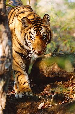 Young Bengal tiger (Panthera tigris tigris) Bandhavgarh NP, Madhya Pradesh India  -  Francois Savigny/ npl