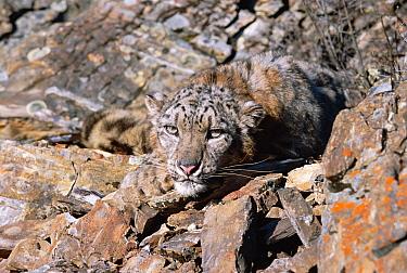 Snow leopard face portrait (Panthera uncia) captive  -  Francois Savigny/ npl
