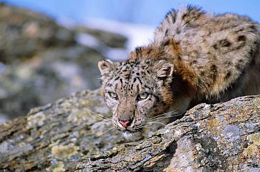 Snow leopard portrait (Panthera uncia) captive  -  Francois Savigny/ npl
