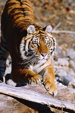 Siberian tiger stretching (Panthera tigris altaica) tigers  -  Francois Savigny/ npl