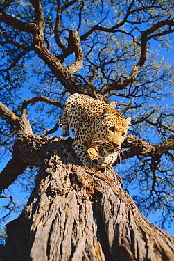 Leopard coming down tree (Panthera pardus) Kalahari National Park, Botswana  -  Francois Savigny/ npl