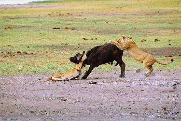 Lions attack African buffalo (Panthera leo) Chobe NP, Botswana, Southern Africa  -  Francois Savigny/ npl