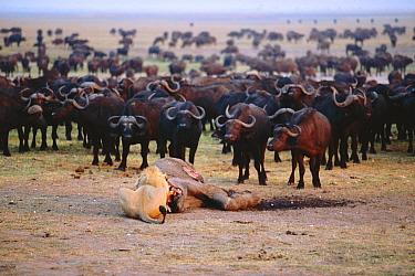 African lion feeding on young Elephant watched by buffalo herd (Panthera leo) Chobe NP, Botswana, S Africa  -  Francois Savigny/ npl