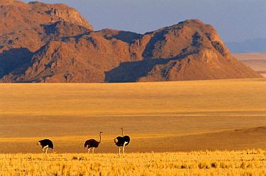 Three Ostrich on grasslands (Struthio camelus) Namib Rand Park, near Sossusvlei, Botswana  -  Francois Savigny/ npl