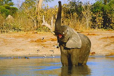 African elephant standing in water with raised trunk (Loxodonta africana) Savuti NP, Botswana  -  Francois Savigny/ npl