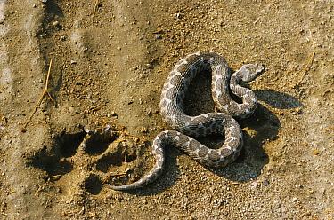 Sand, Long nosed) viper (Vipera ammodytes) beside dog paw print, Bulgaria  -  Dietmar Nill/ npl