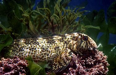 Rock pool blenny in dark breeding colours (Para- blennius sanguinolentus) Mediterranean  -  Jose B. Ruiz/ npl