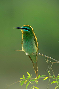Blue cheeked bee-eater (Merops superciliosus) Hafeet, Oman  -  Hanne & Jens Eriksen/ npl