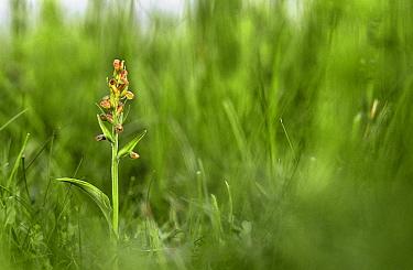Frog orchid (Coeloglossum viride) Peakdale Quarry, Peak District NP, Derbyshire, UK  -  Geoff Simpson/ npl