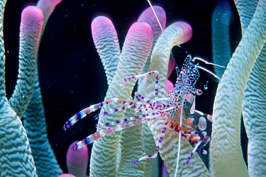Spotted cleaner shrimp in symbiotic relationship with anemone (Periclimenes yucatanicus) Bonaire, Caribbean  -  Doug Perrine/ npl