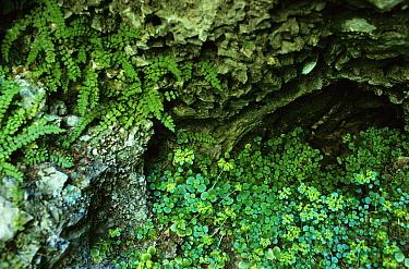 Golden saxifrage growing in damp habitat (Chrysosplenium oppositifolium) UK  -  Tony Evans/ npl