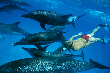 Man snorkeling with Atlantic spotted dolphins (Stenella frontalis) Bahamas  -  Doug Perrine/ npl