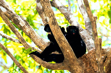 Perrier's sifaka (Propithecus diadema perrieri) female with baby, Analamera Reserve Madagascar  -  Pete Oxford/ npl