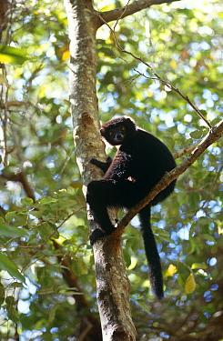 Perrier's sifaka (Propithecus diadema perrieri) sitting in tree, Analamera R, Madagascar  -  Pete Oxford/ npl