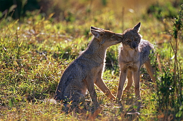 Side striped jackal pups interacting (Canis adustus) Masai Mara GR, Kenya  -  Peter Blackwell/ npl