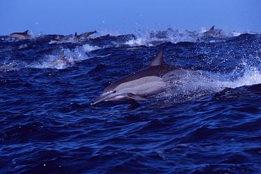 Long beaked common dolphin racing towards sardine shoal (Delphinus capensis) Transkei,  -  Doug Perrine/ npl