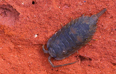 Beach woodlouse (sea slater) (Ligia oceanica) UK  -  Niall Benvie/ npl