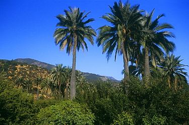 Chilean palm trees (Jubaea chilensis) La Campana NP, Chile  -  Chris Gomersall/ npl