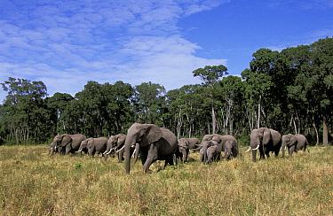 Herd of African elephants coming out of trees (Loxodonta africana) Masai Mara, Kenya  -  Marguerite Smits Van Oyen/ npl