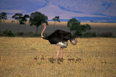 Ostrich male with chicks (Struthio camelus) Masai Mara, Kenya  -  Marguerite Smits Van Oyen/ npl