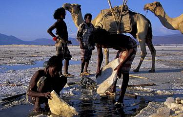 Afar tribesmen mining salt, Lac Assal, Djibouti, East Africa 150m below sea level Sea water seeps through into lake and evaporates  -  Marguerite Smits Van Oyen/ npl