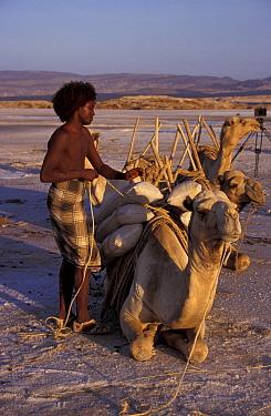 Afar tribesman loading salt onto camel Lac Assal, Djibouti, East Africa 150m below sea  -  Marguerite Smits Van Oyen/ npl