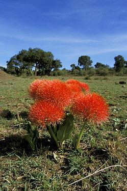 Fireball lily (Scadoxus multiflorus) Masai Mara, Kenya  -  Marguerite Smits Van Oyen/ npl