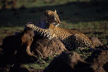 Leopard with Wildebeest kill Masai Mara, Kenya 'Safi' from Big Cat Diary 2000  -  Marguerite Smits Van Oyen/ npl