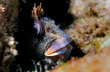 Tompot blenny (Blennius gattorugine) Mediterranean  -  Jose B. Ruiz/ npl