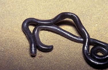 Brahminy blind snake (Ramphotyphlops braminus) Florida, USA  -  Barry Mansell/ npl