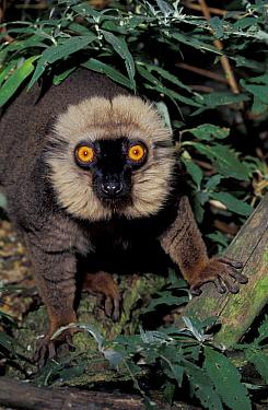 Sanford's brown lemur male (Eulemur fulvus sanfordi) Mount D-Ambre, Madagascar  -  Rod Williams/ npl