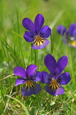Mountain pansies, purple flower (Viola lutea) Peak District NP, England  -  Paul Hobson/ npl