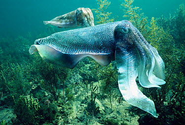 Giant cuttlefish male (front) displays to female (Sepia apama) Whyalla, South Australia  -  Hugh Pearson/ npl