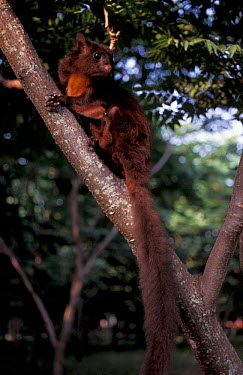 Red giant flying squirrel (Petaurista petaurista) Taiwan  -  Nick Upton/ npl