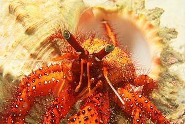 Red hermit crab (Dardanus megistos) close-up, Solomon Islands, South Pacific  -  Brent Hedges/ npl