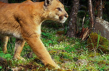 Puma (aka Cougar, Mountain lion) photographed with motion sensing camera at night Oregon USA  -  Michael Durham/ npl