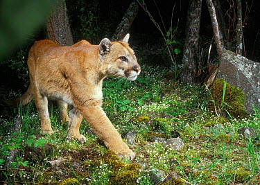 Wild Puma (Cougar, Mountain lion) photographed with motion sensing camera at night Oregon USA  -  Michael Durham/ npl