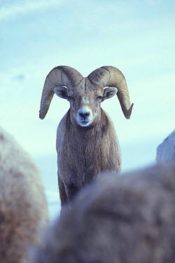 Bighorn ram (Ovis canadensis canadensis) Wallowa Mountains, Oregon, USA  -  Michael Durham/ npl